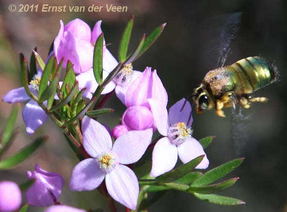 male Lestis bee by Ernst van der Veen