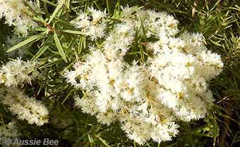 Honey Myrtle for native bees