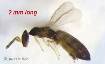 Parasitic wasp of Leafcutter Bees