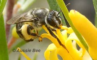persoonia bee collecting pollen