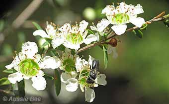 Leptospermum with native bee