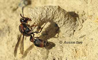 Solitary native wasps help control garden pests