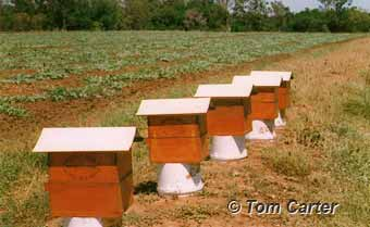 Crop Pollination with native bees